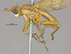 http://mczbase.mcz.harvard.edu/specimen_images/entomology/large/MCZ-ENT00007835_Tetanocera_obtusifibula_hal.jpg