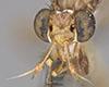 http://mczbase.mcz.harvard.edu/specimen_images/entomology/large/MCZ-ENT00007836_Sepedon_tenuicornis_hef.jpg