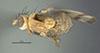 http://mczbase.mcz.harvard.edu/specimen_images/entomology/large/MCZ-ENT00007875_Sapromyza_conjuncta_had.jpg