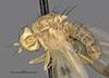 http://mczbase.mcz.harvard.edu/specimen_images/entomology/large/MCZ-ENT00007875_Sapromyza_conjuncta_hal.jpg