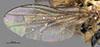http://mczbase.mcz.harvard.edu/specimen_images/entomology/large/MCZ-ENT00007883_Chlorops_egregia_fwg.jpg