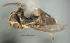 http://mczbase.mcz.harvard.edu/specimen_images/entomology/large/MCZ-ENT00007883_Chlorops_egregia_had.jpg