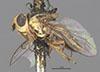 http://mczbase.mcz.harvard.edu/specimen_images/entomology/large/MCZ-ENT00007883_Chlorops_egregia_hal.jpg