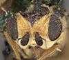 http://mczbase.mcz.harvard.edu/specimen_images/entomology/large/MCZ-ENT00007883_Chlorops_egregia_hef.jpg