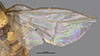 http://mczbase.mcz.harvard.edu/specimen_images/entomology/large/MCZ-ENT00007884_Chlorops_stigmata_fwg.jpg