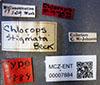 http://mczbase.mcz.harvard.edu/specimen_images/entomology/large/MCZ-ENT00007884_Chlorops_stigmata_lbs.jpg