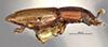 http://mczbase.mcz.harvard.edu/specimen_images/entomology/large/MCZ-ENT00007952_Bactridium_fryi_hal.jpg