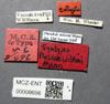 Media of type image, MCZ:Ent:8696 Identified as Pheidole wilsoni type status Syntype of Pheidole wilsoni. . Aspect: labels