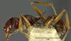 Media of type image, MCZ:Ent:8873 Identified as Pheidole hecate type status Syntype of Pheidole hecate bruesi. . Aspect: habitus lateral view 2