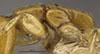 http://mczbase.mcz.harvard.edu/specimen_images/entomology/large/MCZ-ENT00009071_Apenesia_malaitensis_thl.jpg