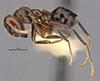 http://mczbase.mcz.harvard.edu/specimen_images/entomology/large/MCZ-ENT00009087_Azteca_muelleri_terminalis_hal.jpg