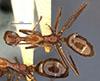 http://mczbase.mcz.harvard.edu/specimen_images/entomology/large/MCZ-ENT00009096_Dendromyrmex_branneri_had.jpg