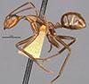 http://mczbase.mcz.harvard.edu/specimen_images/entomology/large/MCZ-ENT00009096_Dendromyrmex_branneri_hal.jpg