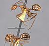 http://mczbase.mcz.harvard.edu/specimen_images/entomology/large/MCZ-ENT00009096_Dendromyrmex_branneri_hala.jpg