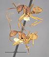 http://mczbase.mcz.harvard.edu/specimen_images/entomology/large/MCZ-ENT00009097_Dendromyrmex_chartifex_mamoreensis_hala.jpg