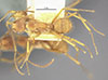 http://mczbase.mcz.harvard.edu/specimen_images/entomology/large/MCZ-ENT00009098_Dendromyrmex_chartifex_var_felis_had.jpg