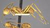 http://mczbase.mcz.harvard.edu/specimen_images/entomology/large/MCZ-ENT00009098_Dendromyrmex_chartifex_var_felis_halb.jpg