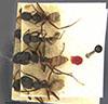 http://mczbase.mcz.harvard.edu/specimen_images/entomology/large/MCZ-ENT00009114_Camponotus_capperi_var_formosulus_hadc.jpg
