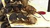 http://mczbase.mcz.harvard.edu/specimen_images/entomology/large/MCZ-ENT00009114_Camponotus_capperi_var_formosulus_hala.jpg