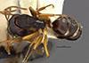 http://mczbase.mcz.harvard.edu/specimen_images/entomology/large/MCZ-ENT00009115_Camponotus_capperi_unctulus_hada.jpg