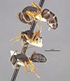 http://mczbase.mcz.harvard.edu/specimen_images/entomology/large/MCZ-ENT00009115_Camponotus_capperi_unctulus_halc.jpg