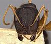 http://mczbase.mcz.harvard.edu/specimen_images/entomology/large/MCZ-ENT00009115_Camponotus_capperi_unctulus_hefa.jpg