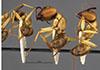 http://mczbase.mcz.harvard.edu/specimen_images/entomology/large/MCZ-ENT00009116_Camponotus_abdominalis_nocens_halc.jpg