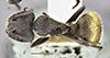 http://mczbase.mcz.harvard.edu/specimen_images/entomology/large/MCZ-ENT00009118_Camponotus_pellarius_had.jpg