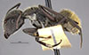 http://mczbase.mcz.harvard.edu/specimen_images/entomology/large/MCZ-ENT00009118_Camponotus_pellarius_hala.jpg