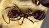 http://mczbase.mcz.harvard.edu/specimen_images/entomology/large/MCZ-ENT00009123_Monomorium_minimum_cyaneum_had.jpg
