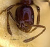 http://mczbase.mcz.harvard.edu/specimen_images/entomology/large/MCZ-ENT00009123_Monomorium_minimum_cyaneum_hef.jpg