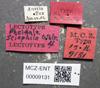 Media of type image, MCZ:Ent:9131 Identified as Pheidole sciophila type status Syntype of Pheidole sciophila. . Aspect: labels