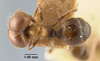 Media of type image, MCZ:Ent:9138 Identified as Pheidole hirtula type status Syntype of Pheidole vasliti var. acolhua. . Aspect: habitus dorsal view