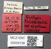 Media of type image, MCZ:Ent:9138 Identified as Pheidole hirtula type status Syntype of Pheidole vasliti var. acolhua. . Aspect: labels