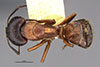 http://mczbase.mcz.harvard.edu/specimen_images/entomology/large/MCZ-ENT00009219_Camponotus_maculatus_dumetorum_had.jpg