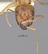 http://mczbase.mcz.harvard.edu/specimen_images/entomology/large/MCZ-ENT00009226_Camponotus_maculatus_sanctaecrucis_hefa.jpg
