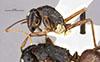 http://mczbase.mcz.harvard.edu/specimen_images/entomology/large/MCZ-ENT00009233_Camponotus_maguassa_halb.jpg