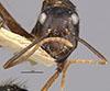http://mczbase.mcz.harvard.edu/specimen_images/entomology/large/MCZ-ENT00009233_Camponotus_maguassa_hefa.jpg