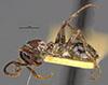 http://mczbase.mcz.harvard.edu/specimen_images/entomology/large/MCZ-ENT00009253_Eciton_melanocephalum_xipe_hal.jpg