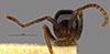 http://mczbase.mcz.harvard.edu/specimen_images/entomology/large/MCZ-ENT00009253_Eciton_melanocephalum_xipe_hef.jpg