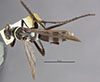 http://mczbase.mcz.harvard.edu/specimen_images/entomology/large/MCZ-ENT00010017_Anoplius_bolli_had.jpg