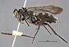 http://mczbase.mcz.harvard.edu/specimen_images/entomology/large/MCZ-ENT00010017_Anoplius_bolli_hal.jpg
