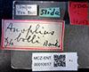 http://mczbase.mcz.harvard.edu/specimen_images/entomology/large/MCZ-ENT00010017_Anoplius_bolli_lbs.jpg