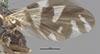 http://mczbase.mcz.harvard.edu/specimen_images/entomology/large/MCZ-ENT00010243_Trypeta_fausta_fwg.jpg