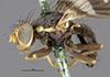 http://mczbase.mcz.harvard.edu/specimen_images/entomology/large/MCZ-ENT00010243_Trypeta_fausta_hal.jpg