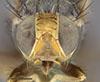 http://mczbase.mcz.harvard.edu/specimen_images/entomology/large/MCZ-ENT00010243_Trypeta_fausta_hef.jpg