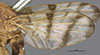 http://mczbase.mcz.harvard.edu/specimen_images/entomology/large/MCZ-ENT00010244_Trypeta_basiolum_fwg.jpg