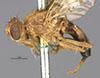 http://mczbase.mcz.harvard.edu/specimen_images/entomology/large/MCZ-ENT00010244_Trypeta_basiolum_hal.jpg