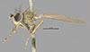 http://mczbase.mcz.harvard.edu/specimen_images/entomology/large/MCZ-ENT00011128_Notiphila_unicolor_hal.jpg