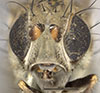 http://mczbase.mcz.harvard.edu/specimen_images/entomology/large/MCZ-ENT00011133_Notiphila_carinata_hef.jpg